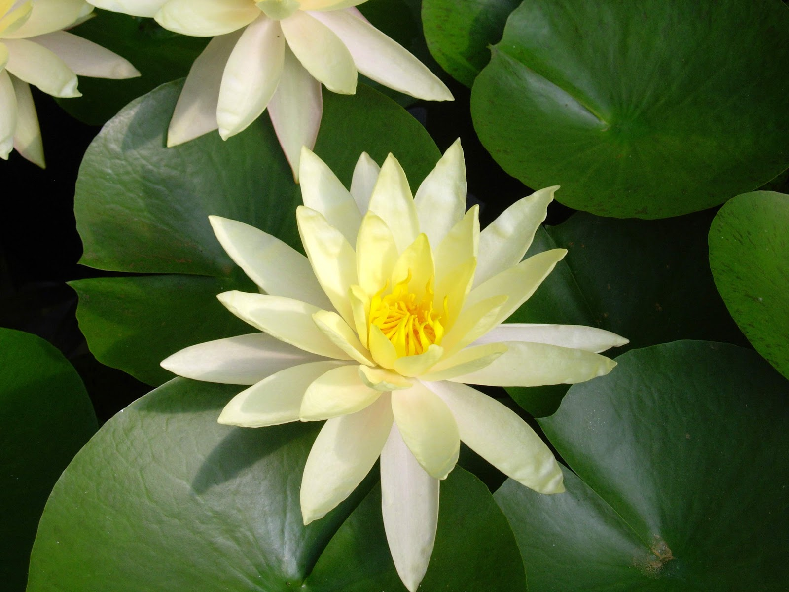 Flower Picture Lotus Flower 8