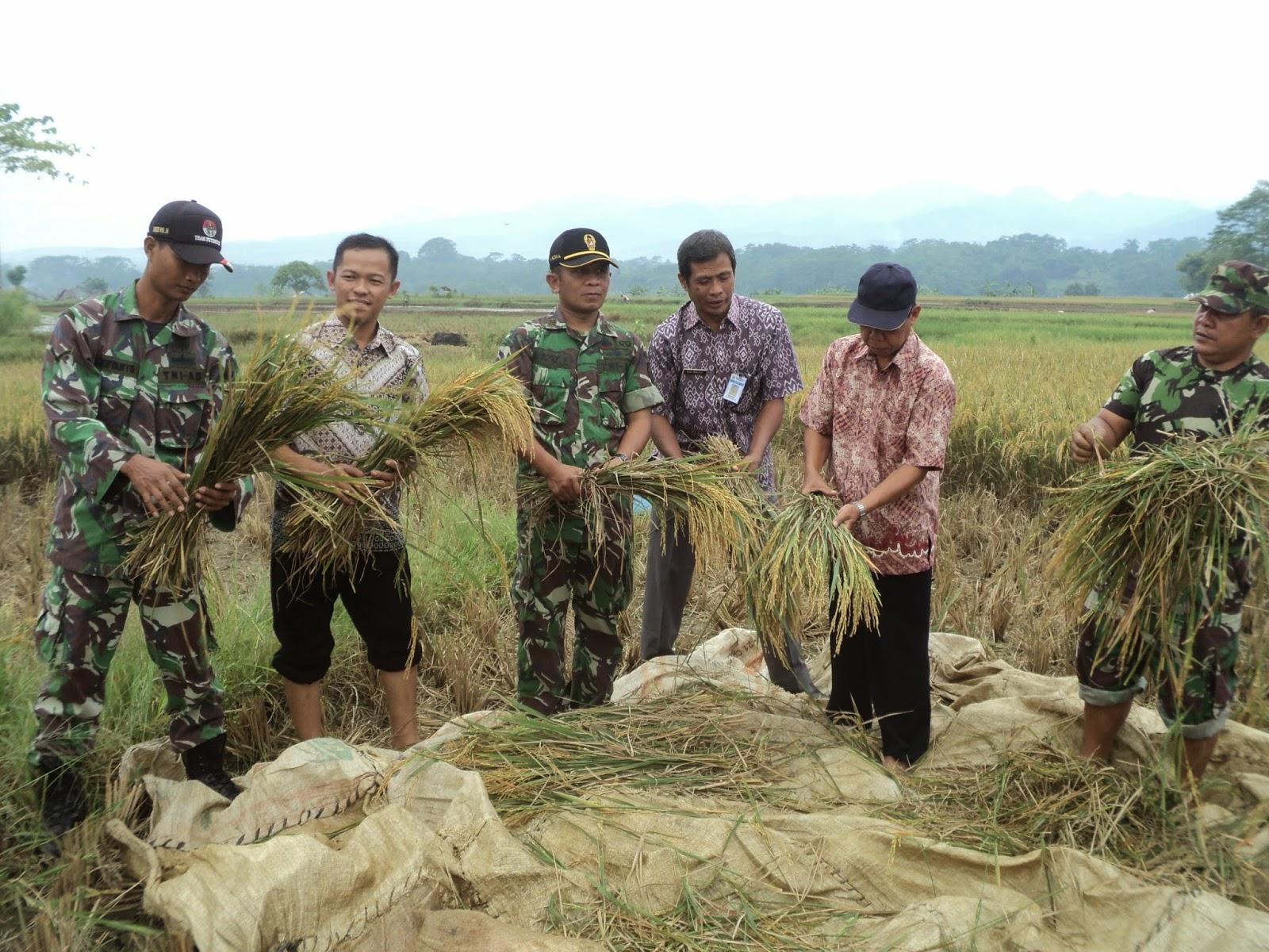 Petani Panen, Para Babinsa Terjun Ke Sawah