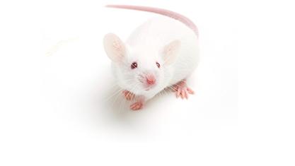 Balb-C fare ile ilgili görsel sonucu