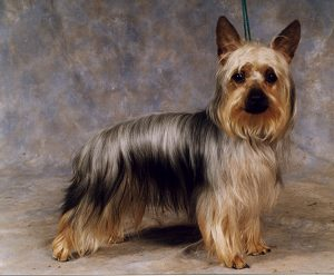 Australian Silky Terrier Pictures