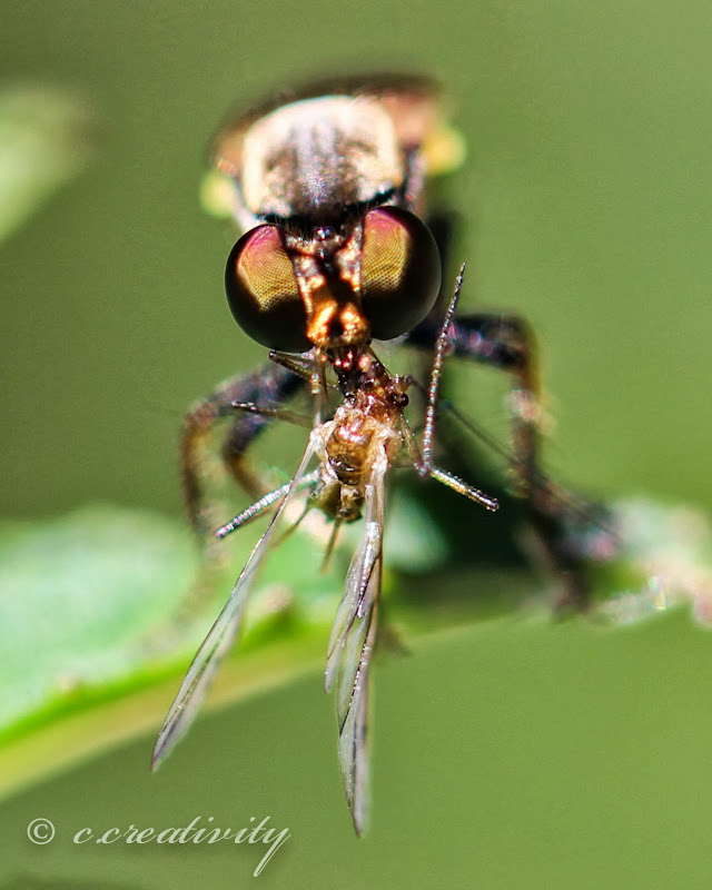 Instead of mammals, robber flies feed on other insects. title=