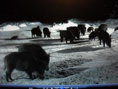 MYSLIVOST: Krmeliště černé zvěře Siga webové kamery opět v provozu!