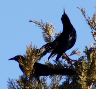 Great-Tailed Grackles Calling.