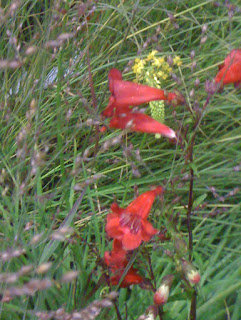 Penstemon 'Firebird' with ornamental grass, Panicum virgatum