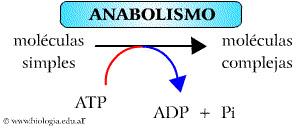 anabolica definicion