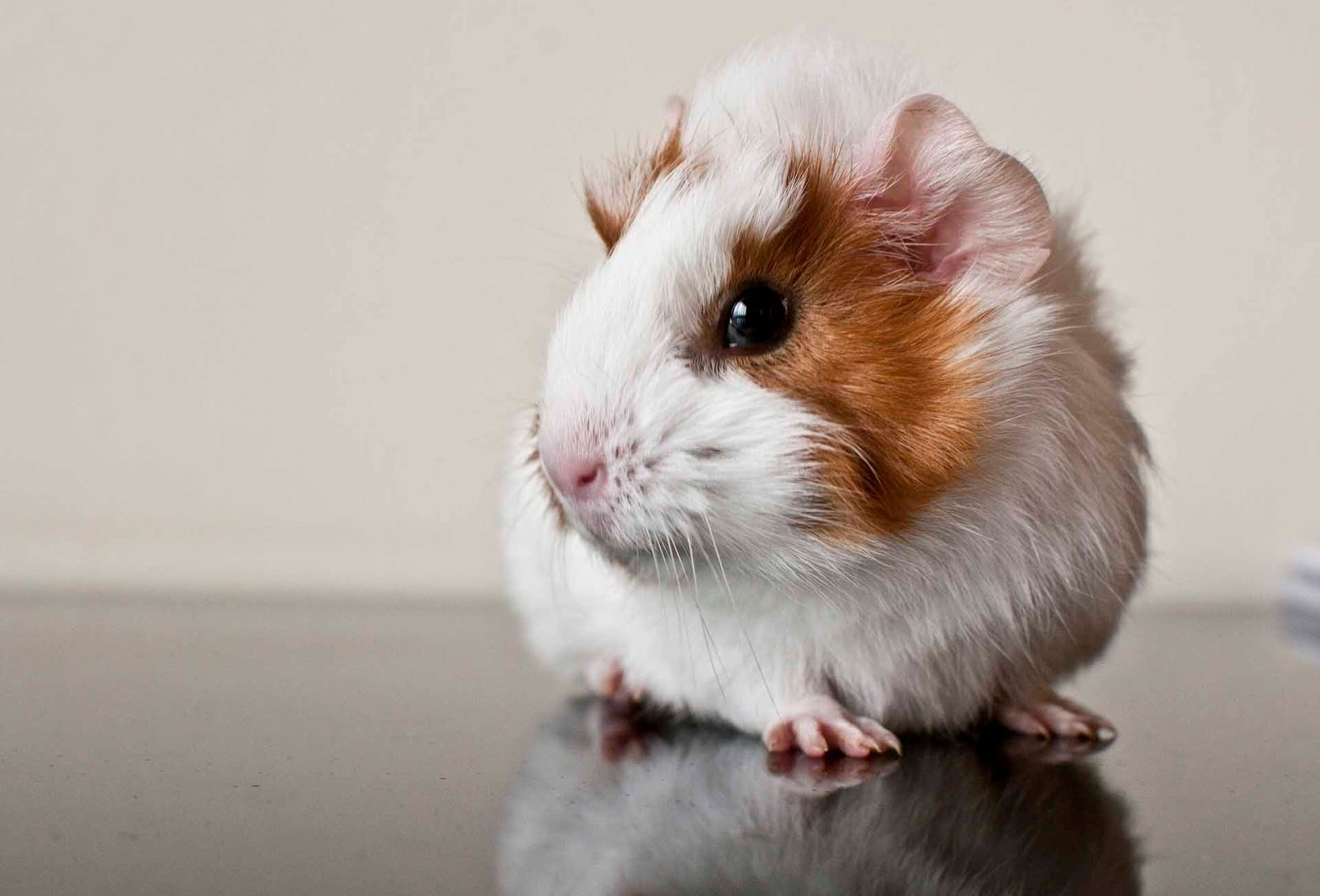 hq wallpapers guinea pig wallpapers