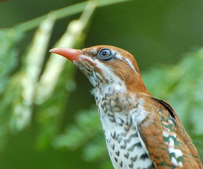 Ornithondar  les oiseaux à SaintLouis et au nord du Sénégal ~ Le Coucou Des Bois Oiseau