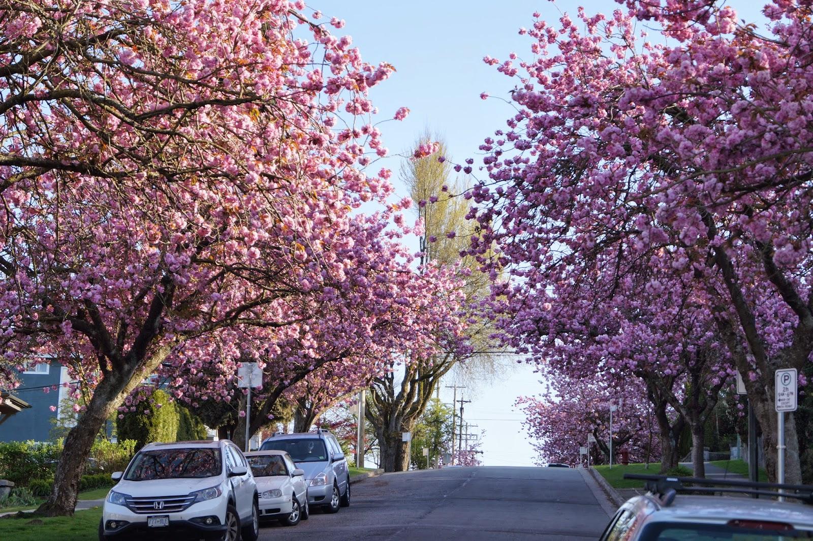 Сакуры на улицах Ванкувера