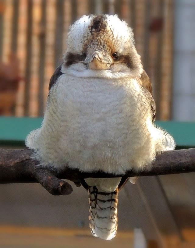 Laughing Kookaburra Calls
