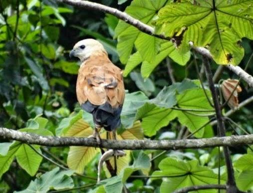 Harrier with fish at the Pacaya-Samiria National Reserve, Peruvian Amazon rainforest.