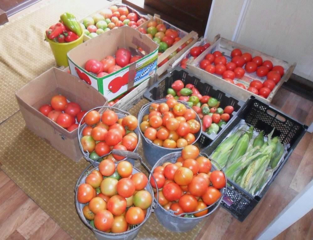 собрал последние помидоры - безрассадные