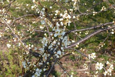 bknoppar och blommor på trädgrenar. foto: Reb Dutius