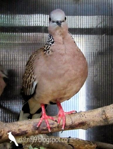 Burung tekukur kuk manggung