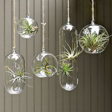 air plants  they only need