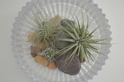 How to Care for Tillandsia (Air Plants) - seriously-lovely.blogspot.com