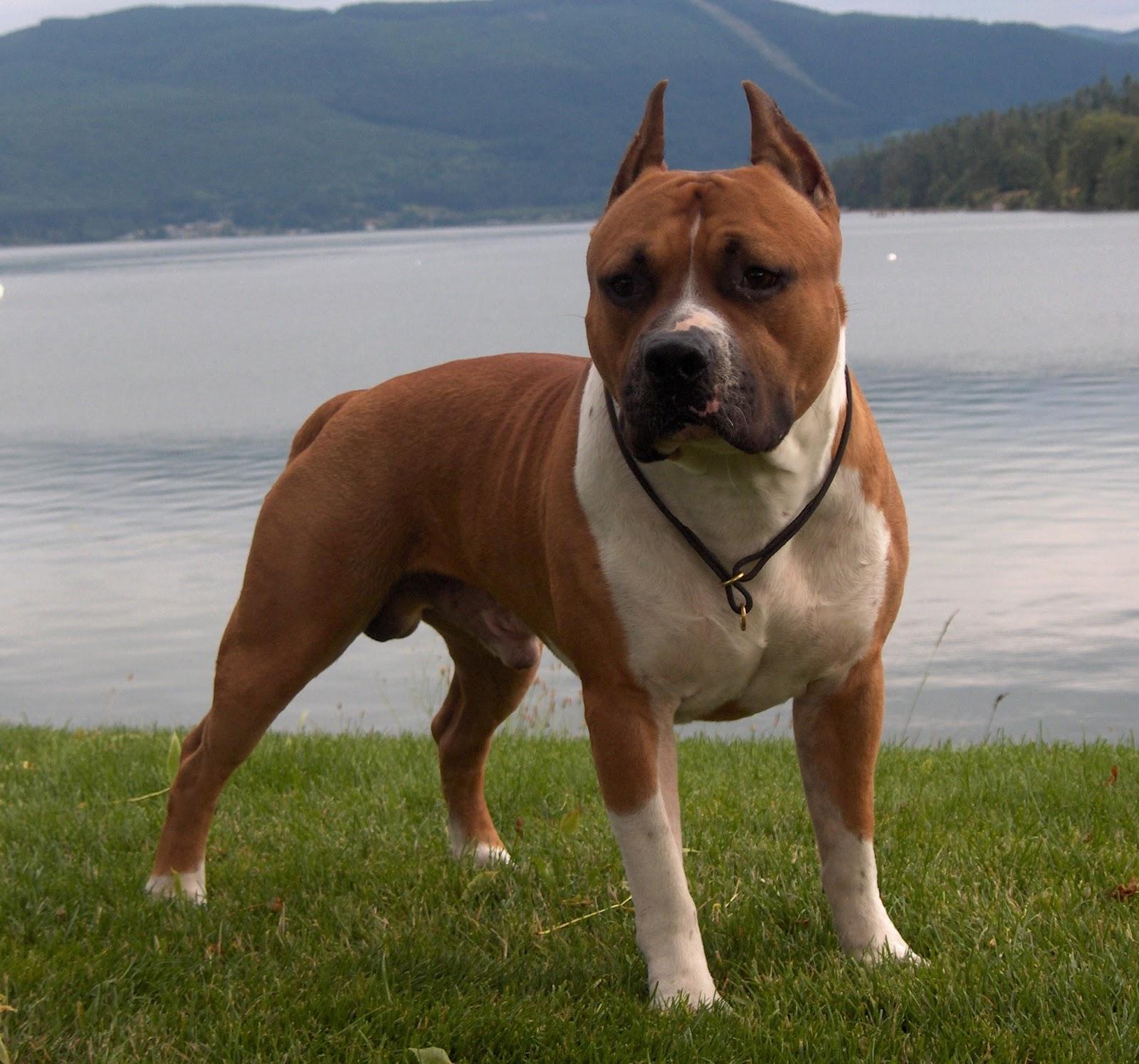 Dog Photo: American Staffordshire Terrier Dog American Stafford