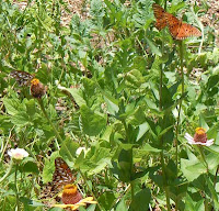 4 gulf frittilary butterflies on zinnia flowers