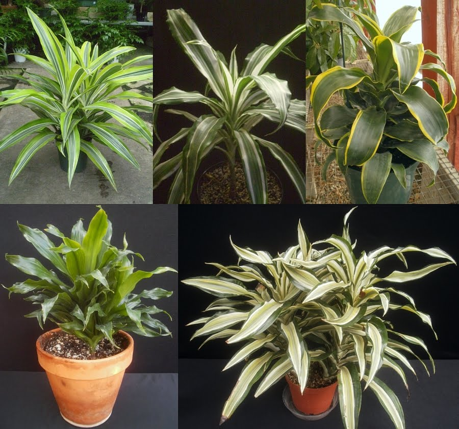 Plants are the strangest people 10 16 11 10 23 11 for Plante dracaena