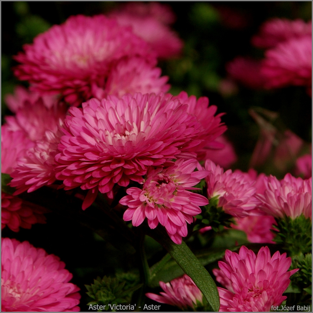 Aster 'Victoria' - Aster