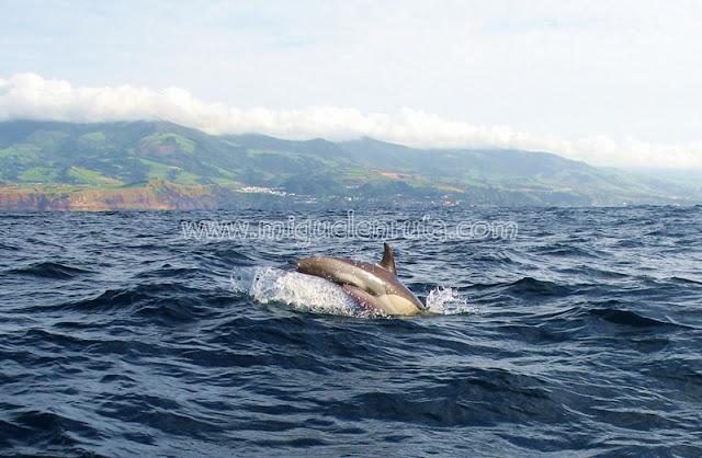 Delfines en Sao Miguel