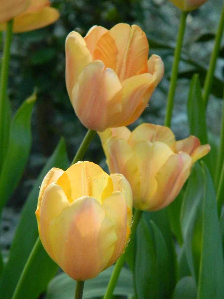 Peach tulips Allan Gardens Conservatory 2015 Spring Flower Show by garden muses-not another Toronto gardening blog
