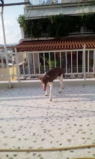 Βρέθηκε θηλυκό σκυλάκι στο Πγακράτι με κόκκινο λουράκι.
