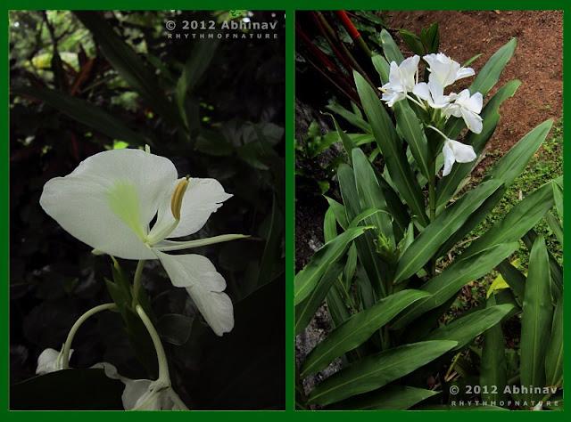 Kalyanasougandhikam - White Ginger Lily