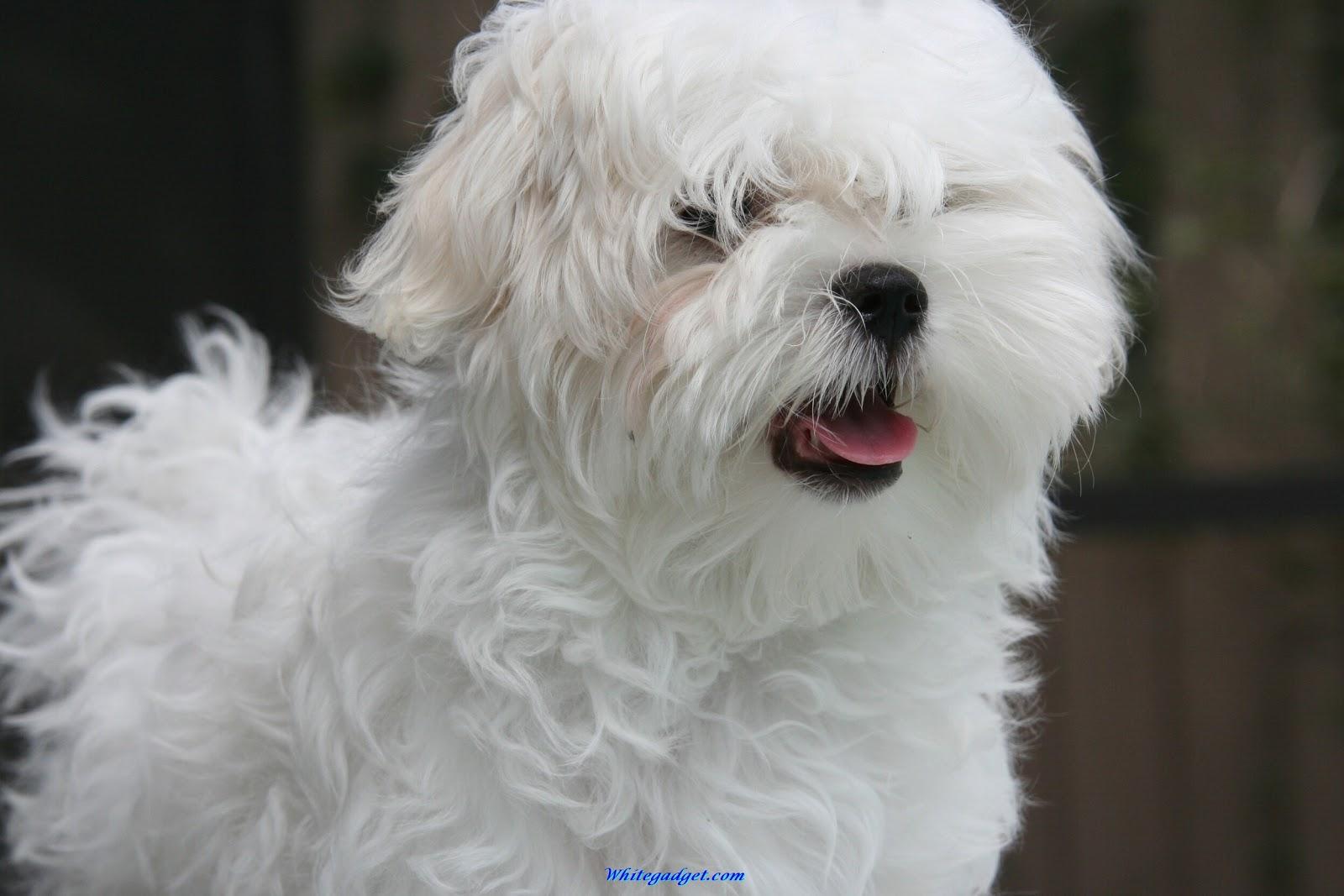 Cute Dogs Maltese Dogs