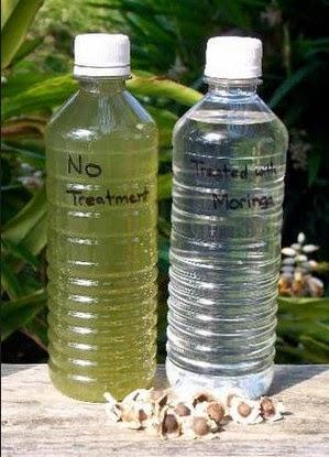 khasiat serbuk biji kelor penjernih air