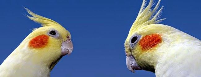 Foto Burung Falk Terbaik