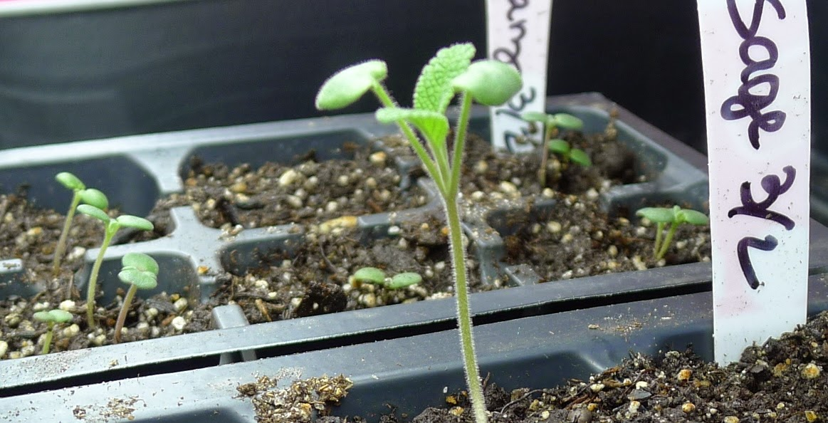 Sage Seedling, grow lights