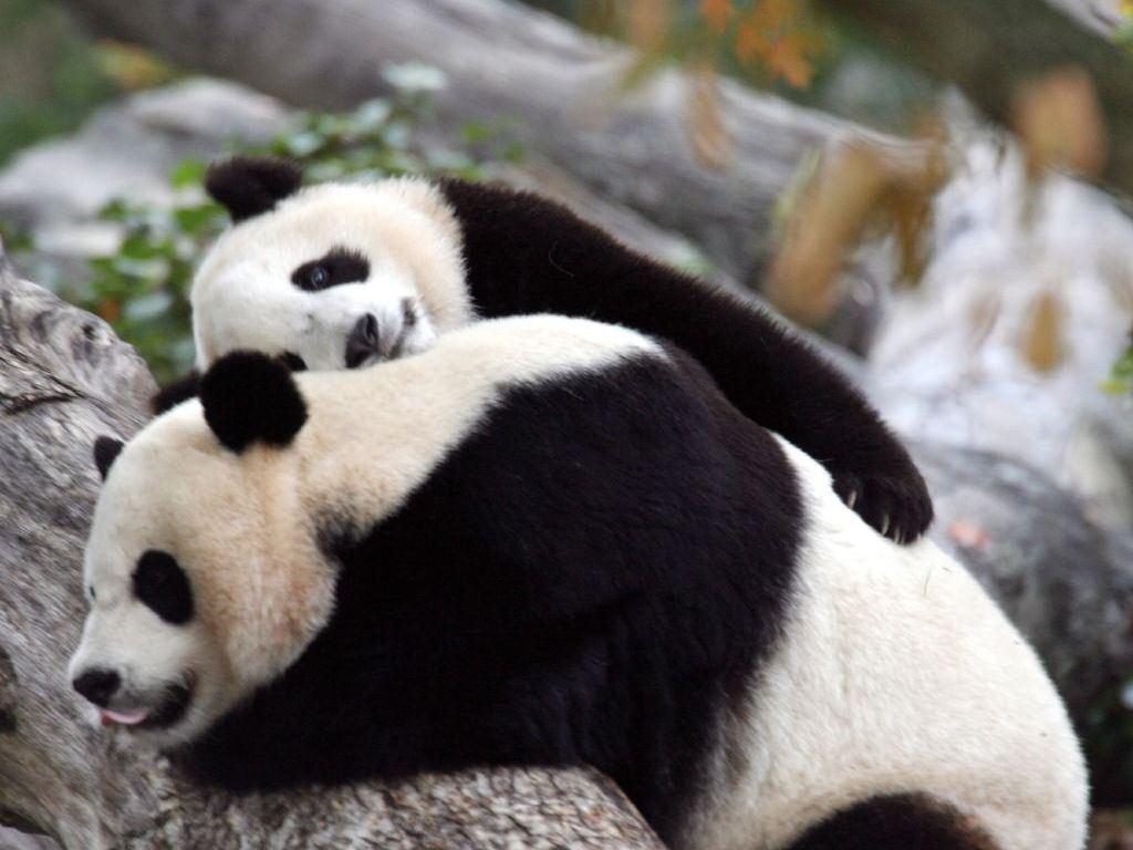 http://2.bp.blogspot.com/-pPB9UYx5wEk/Tq0kdOGpSfI/AAAAAAAADKE/mOGNkgqy-4c/s1600/bear_pictures_Red_Panda_bear_family_wallpapers.jpg