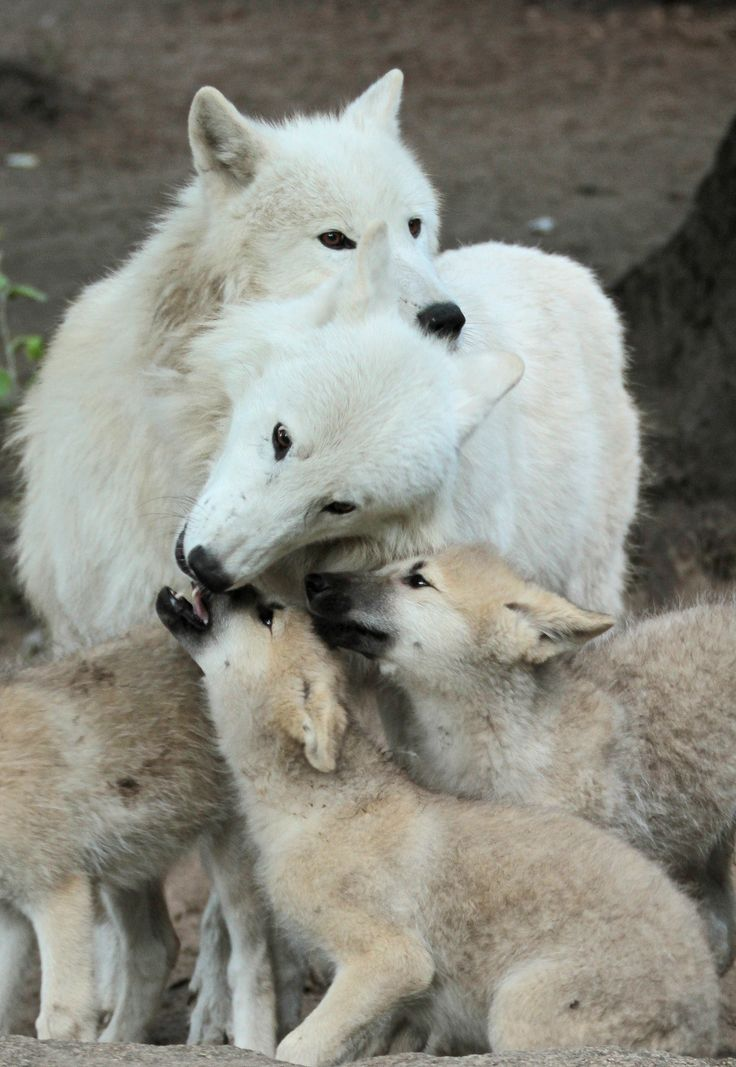 white wolf stunning images showcase the cuteness of