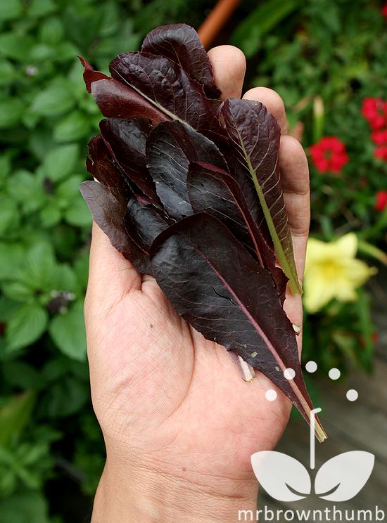 Lettuce Sea of Red, dark lettuce variety