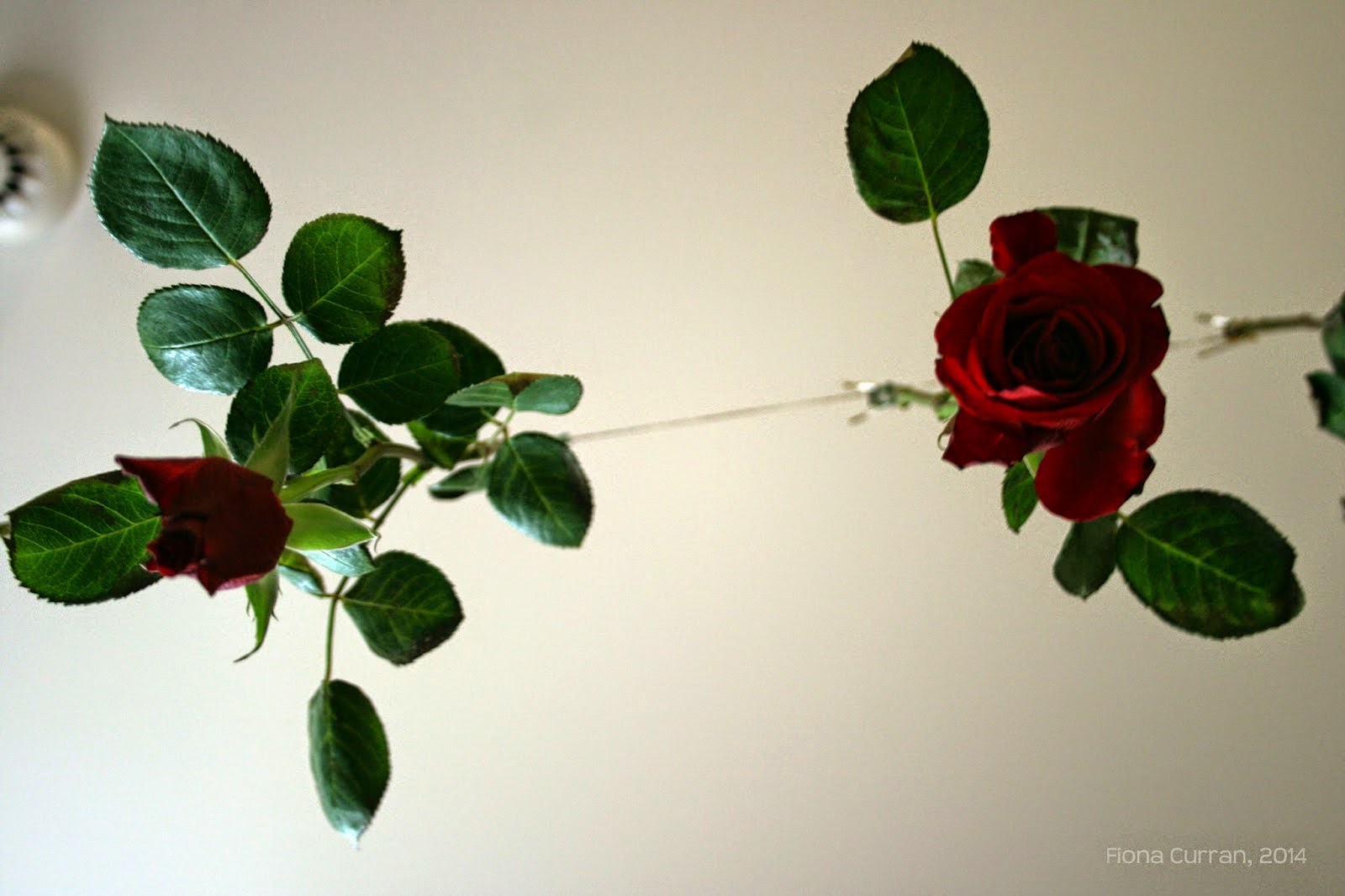 red roses hanging