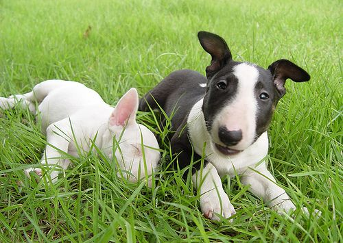before miniature bull terriers require little grooming miniature bull ...