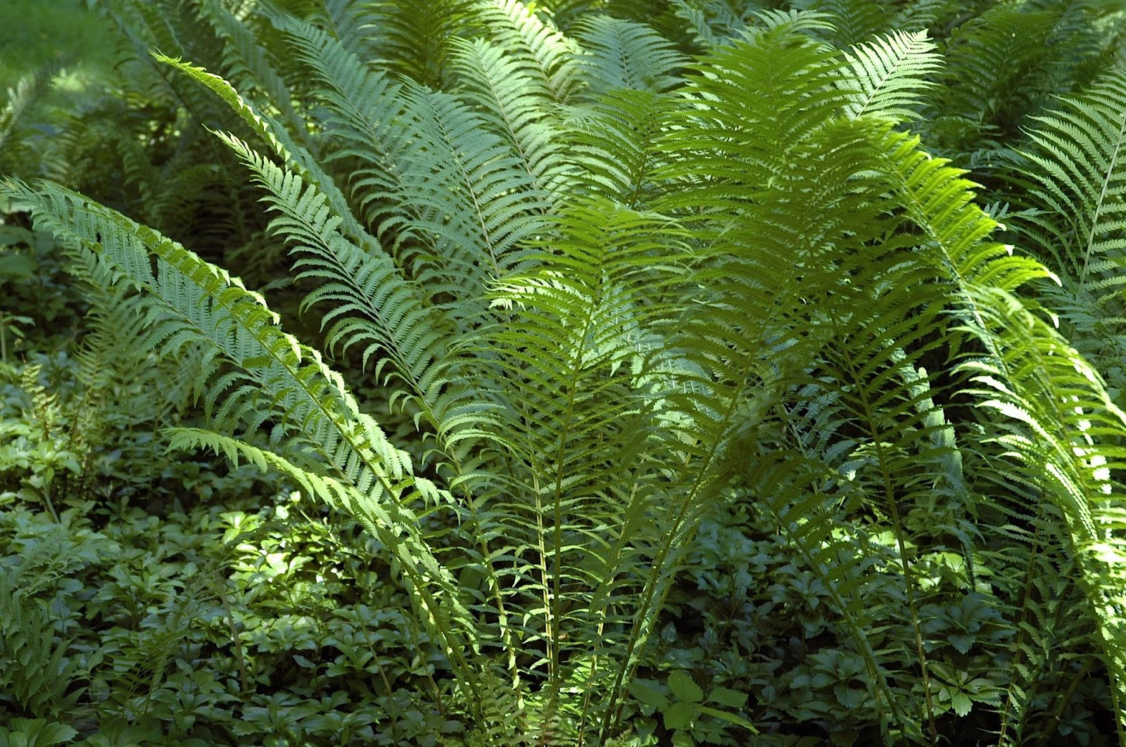 Field Biology in Southeastern Ohio: A Few More Ferns