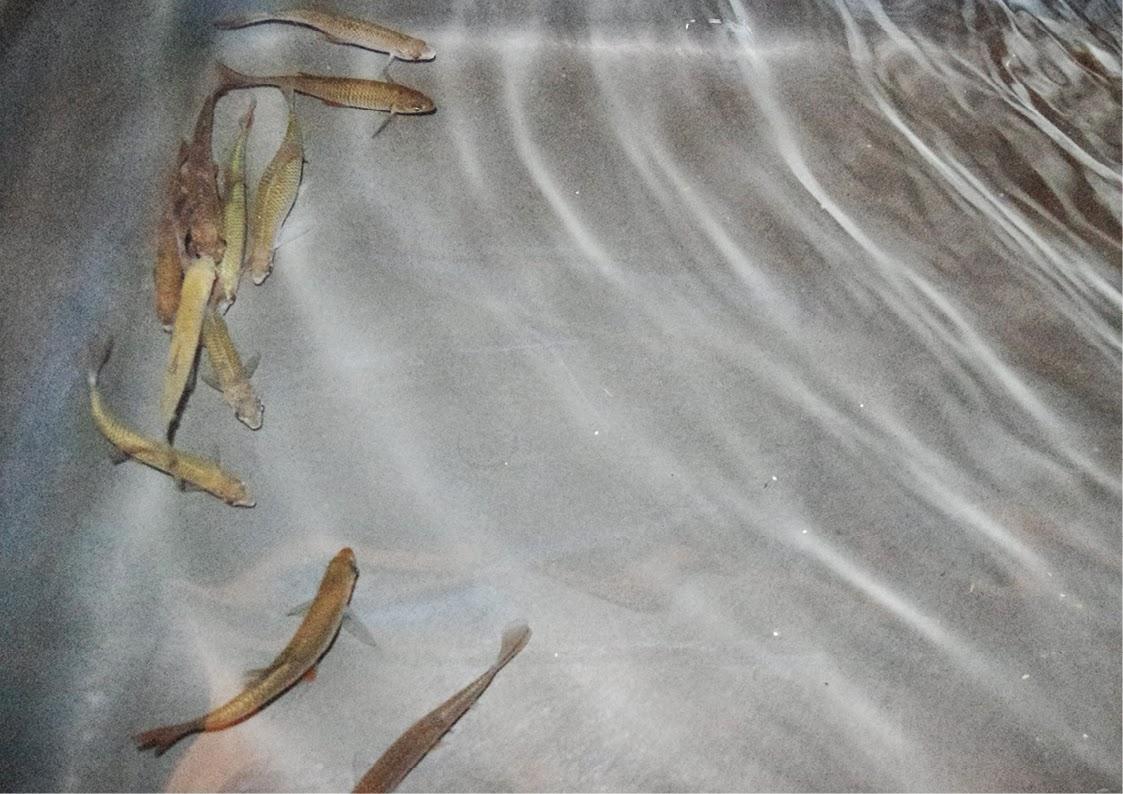 aquaponie B.ponics poisson gardons aquaponie france diy aquaponics