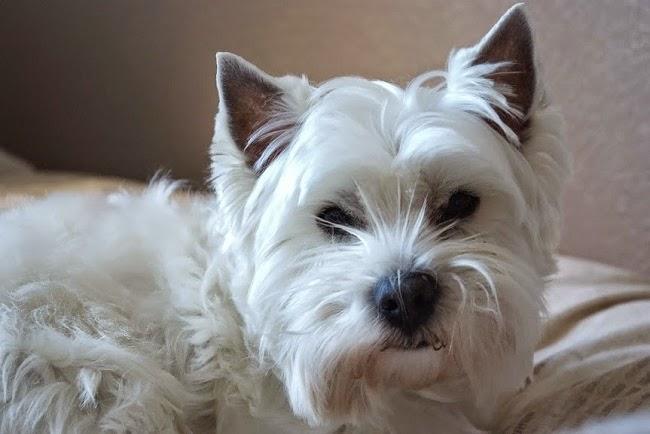 Wrzód rogówki u psa