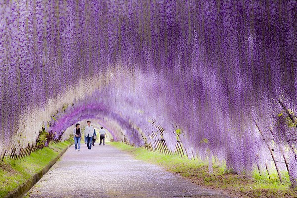 The Wisteria Flower Tunnel at Kawachi Fuji Garden, Japan