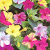 Marvel of Peru flowers pictures.