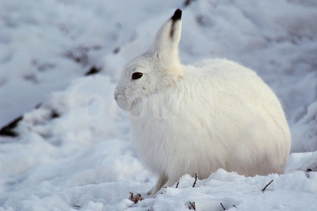 Arctic Hare picture