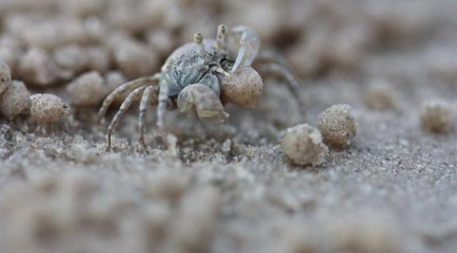 Kepiting bola pasir