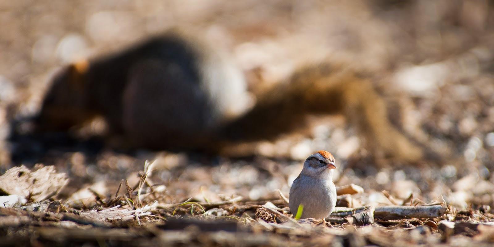 Chipping Sparrow, Bob Jones Nature Center
