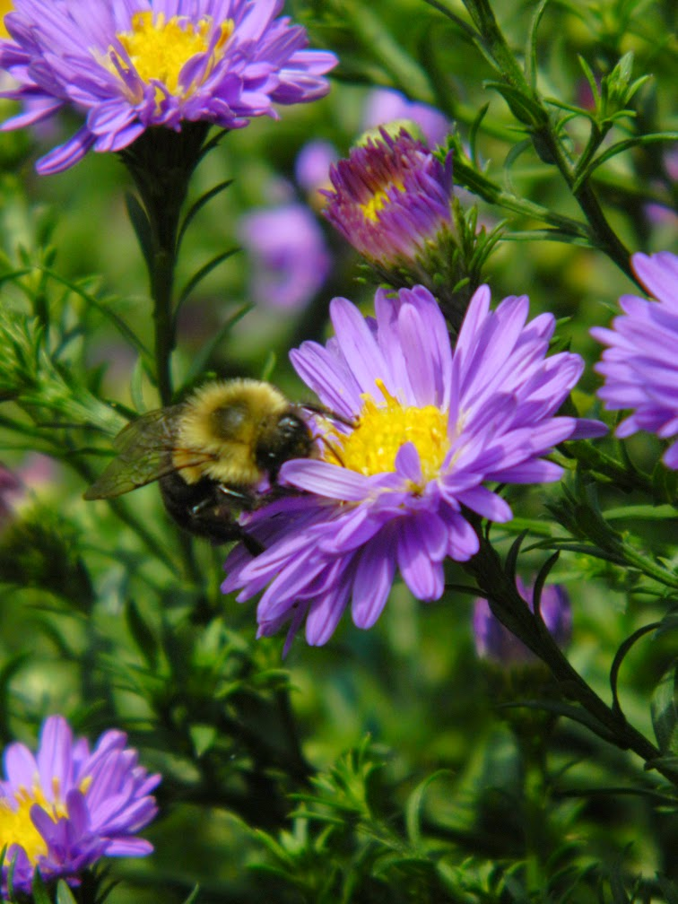 Symphyotrichum novae-angliae New England aster by garden muses-not another Toronto gardening blog