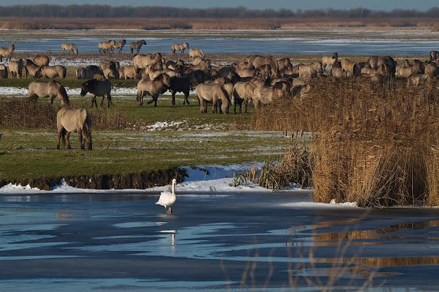 Knobbelzwaan & Konik - Mute swan & Koniks - Cygnus olor & Konik - Equus caballus caballus