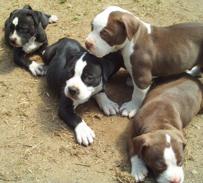 All About Animal Wildlife: American Pitbull Cute Puppies Images