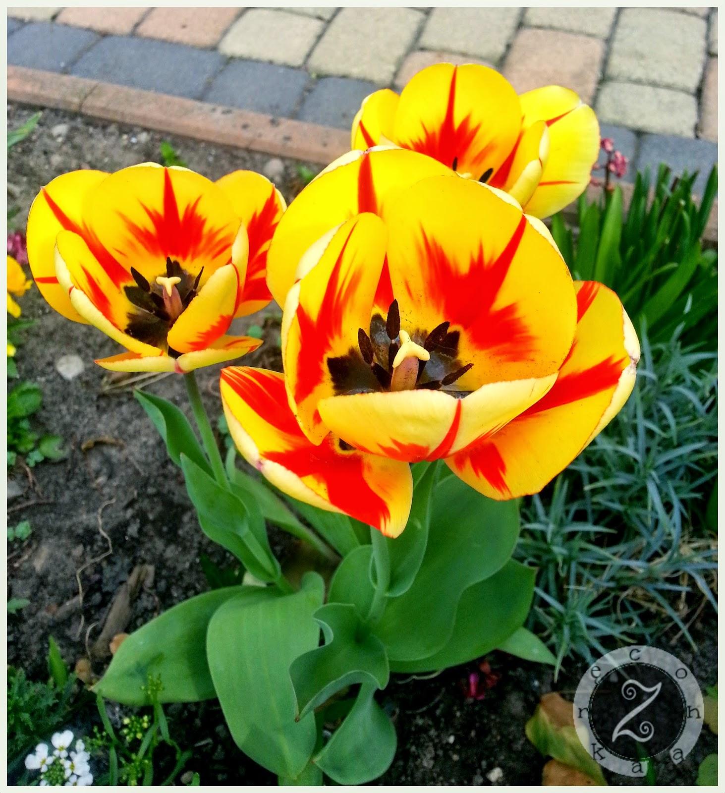 tulipany zdjęcia