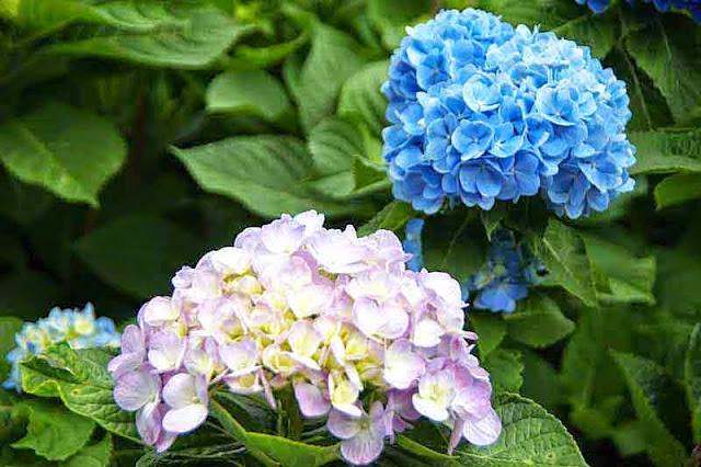 hydrangea flowers, ajisai