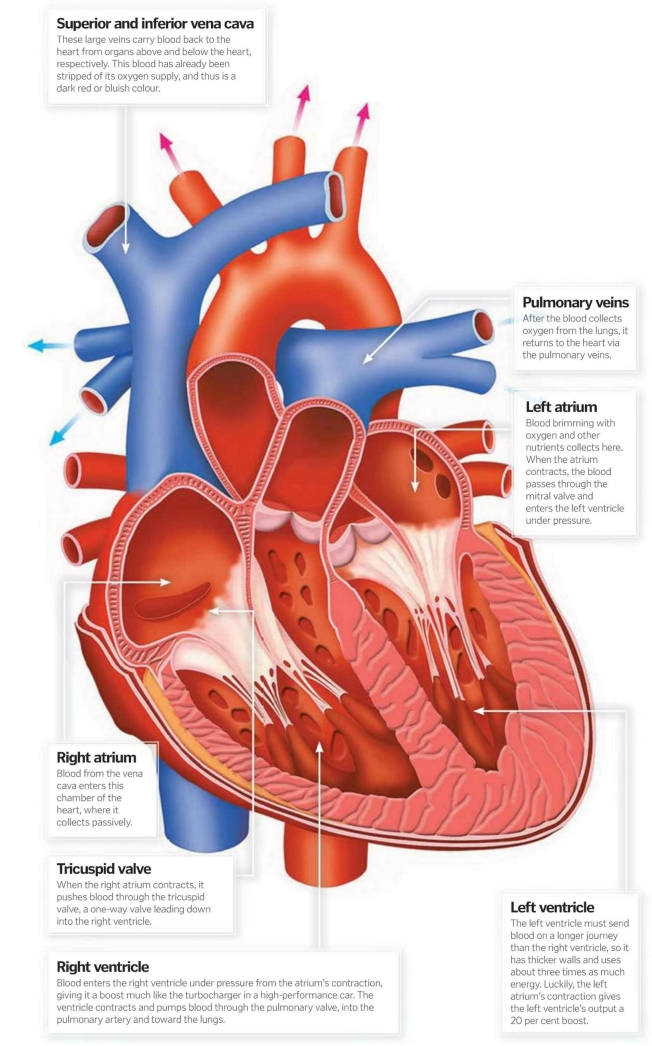 How Everything Works ... Curious Questions: WHAT\'S INSIDE THE HEART ?